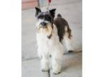 Adopt Frodo D4323 a Black - with White Miniature Schnauzer / Mixed dog in