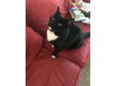Adopt Sam a Black & White or Tuxedo American Shorthair / Mixed cat in