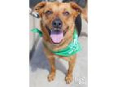 Adopt Tilly a Brown/Chocolate - with Black Shepherd (Unknown Type) / Mixed dog