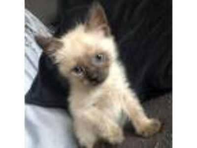 Adopt Octopus 17 a Siamese / Mixed cat in Austin, TX (25904515)