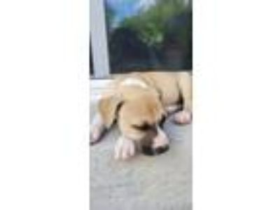 Adopt Mikey a Pit Bull Terrier, Shepherd