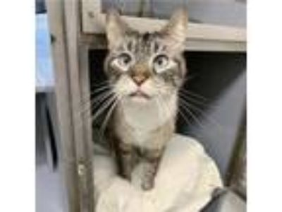 Adopt Suki a Gray, Blue or Silver Tabby Domestic Shorthair / Mixed cat in
