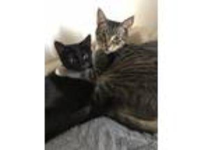 Adopt King a Tiger Striped Domestic Shorthair / Mixed cat in Atlanta