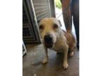 Adopt Tweet a White American Pit Bull Terrier / Mixed dog in Philadelphia