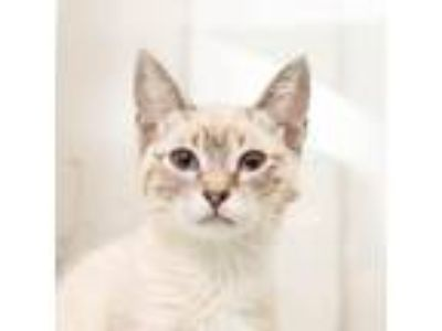 Adopt Kimmy Schmidt a Tiger Striped Siamese cat in Los Angeles, CA (25587496)