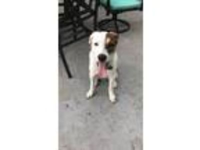 Adopt Bailey a Brown/Chocolate - with White Catahoula Leopard Dog / Mixed dog in