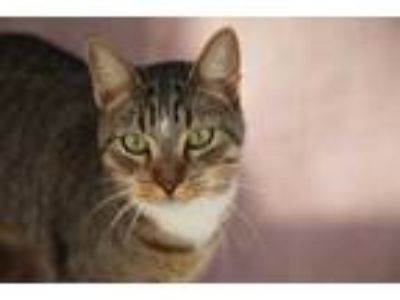 Adopt Baker a Gray or Blue Domestic Shorthair / Domestic Shorthair / Mixed cat