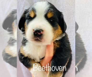 Greater Swiss Mountain Dog PUPPY FOR SALE ADN-129993 - GSMD puppies DOB March 22 2019