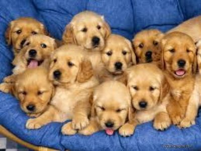 Golden Retriever Pups