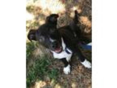 Adopt Thunder a Black American Pit Bull Terrier / Mixed dog in Reidsville