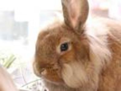 Adopt SIMBA a Fawn Lionhead / Mixed rabbit in Maryland Heights, MO (25350317)