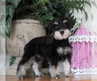 Miniature French Schnauzer PUPPY FOR SALE ADN-131396 - miniature schnauzer puppy for sale