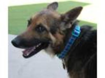 Adopt Rocco a German Shepherd Dog, Mixed Breed