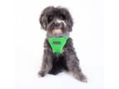 Adopt Cheese a Poodle, Yorkshire Terrier