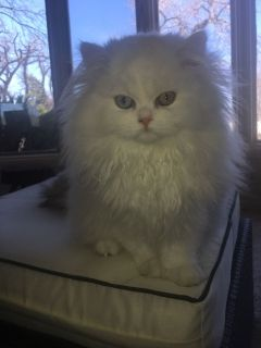 Persian Kittens CFA PURE BRED REGISTERED CATTERY silvermeows4@gmail.com