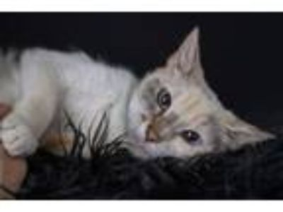Adopt Blondie a Domestic Short Hair, Siamese
