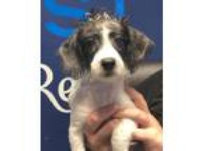 Adopt Beauregard a White Bichon Frise / Poodle (Toy or Tea Cup) / Mixed dog in