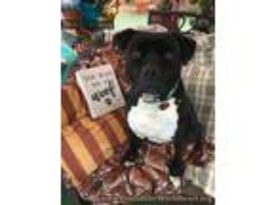 Adopt Amazing Lance a Labrador Retriever, American Staffordshire Terrier