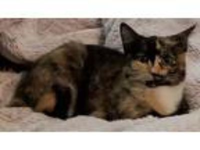 Adopt Marlie and Mistie a Calico or Dilute Calico American Bobtail / Mixed