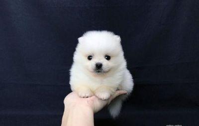 Pomeranian PUPPY FOR SALE ADN-105718 - HIGHEST class TEACUP Pomeranian for NY LA SF SEA