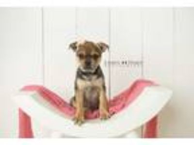 Adopt Fleur a Brown/Chocolate - with Tan Pug / Doberman Pinscher / Mixed dog in
