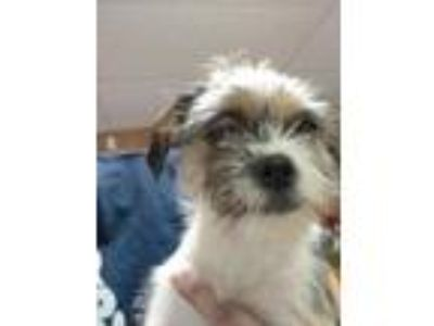 Adopt Jada a White Shih Tzu / Jack Russell Terrier / Mixed dog in Huntingdon