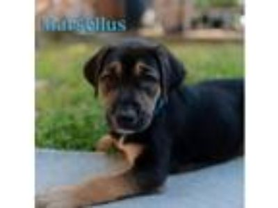 Adopt Puppy Marsellus a Black - with Brown, Red, Golden, Orange or Chestnut