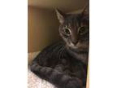 Adopt Smokey a Domestic Shorthair / Mixed cat in Texarkana, TX (22712244)