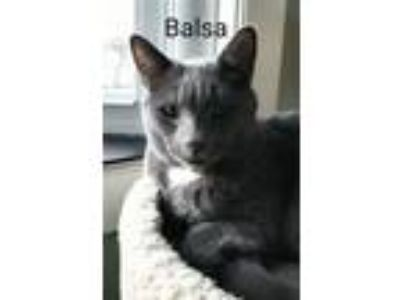 Adopt Balsa a Domestic Short Hair