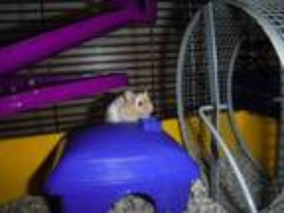 Adopt Cheddar a Orange Mouse / Mixed small animal in Honolulu, HI (25837225)