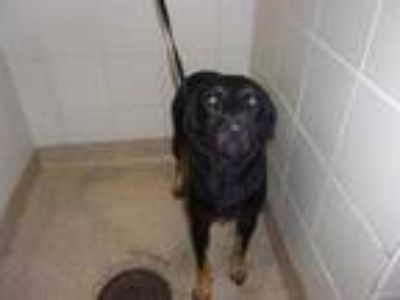 Adopt Abby a Black Labrador Retriever / Mixed dog in Arlington, TX (25624655)