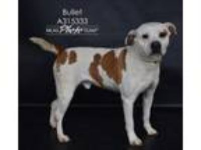 Adopt BULLET a Boxer, Brittany Spaniel