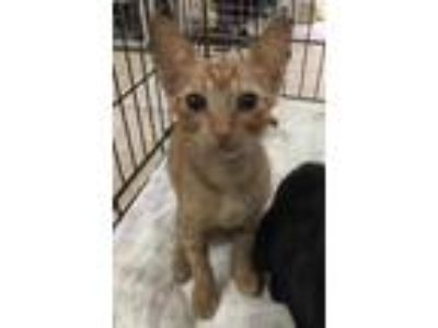 Adopt Timor a Orange or Red Domestic Shorthair / Domestic Shorthair / Mixed cat