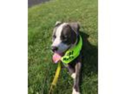 Adopt Zaki a Brown/Chocolate - with White Pit Bull Terrier dog in Gilbertsville