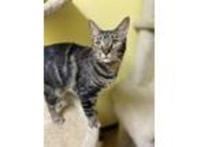 Adopt Nellie a White Domestic Mediumhair / Mixed cat in Margate, FL (23078374)