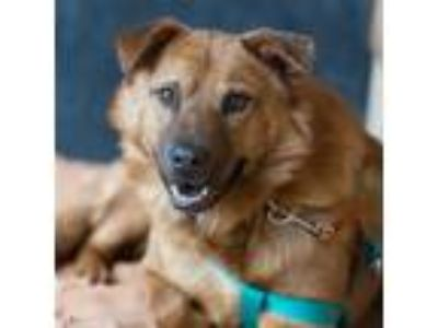 Adopt Gilmore a Chow Chow