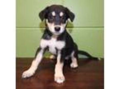 Adopt Miss Scarlet a Black Shepherd (Unknown Type) / Mixed dog in Grapevine