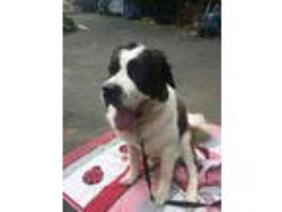 Adopt CHASE a Tricolor (Tan/Brown & Black & White) St. Bernard / Mixed dog in
