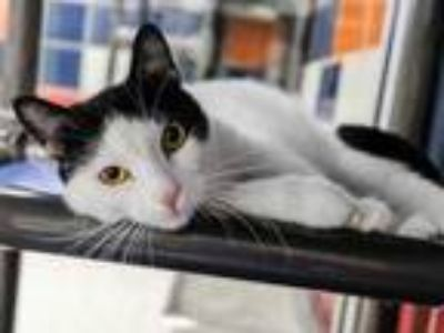 Adopt MADISON a White Domestic Shorthair / Domestic Shorthair / Mixed cat in