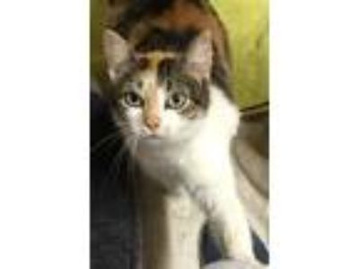 Adopt Bonnie a Calico or Dilute Calico Domestic Shorthair (short coat) cat in