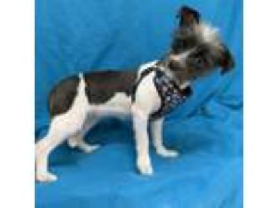 Adopt Odessa a Black Terrier (Unknown Type, Small) / Mixed dog in Tampa