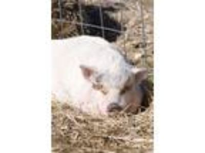 Adopt Nala a Pig (Potbellied) farm-type animal in White Plains, NY (25894401)