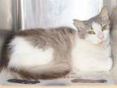 Adopt PYRITE (BARN CAT) a Domestic Short Hair