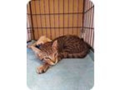 Adopt Frasier a Brown or Chocolate Domestic Shorthair / Domestic Shorthair /