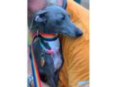 Adopt Coco a Gray/Silver/Salt & Pepper - with White Italian Greyhound / Mixed