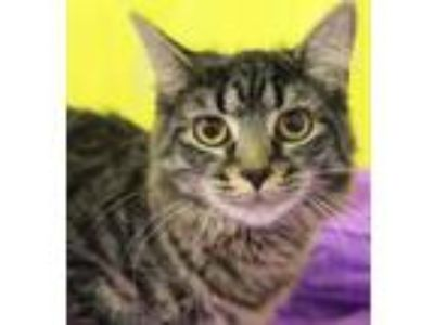 Adopt Eva a Gray or Blue Domestic Mediumhair / Domestic Shorthair / Mixed cat in
