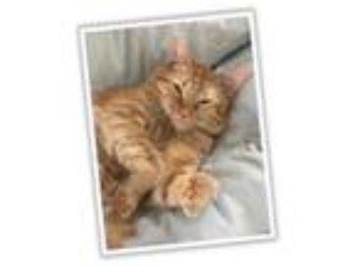 Adopt Jordan a Orange or Red Domestic Mediumhair / Mixed cat in Arden Hills