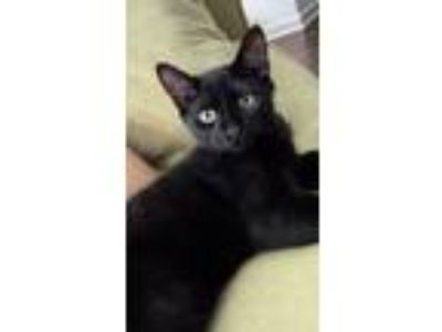 Adopt Prince William a All Black American Shorthair / Mixed cat in Cary