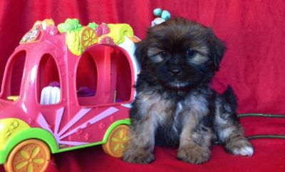 MALTESE MIXED WITH SHIH TZU PUPS !