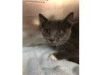 Adopt Anthony a Gray or Blue Domestic Shorthair / Domestic Shorthair / Mixed cat